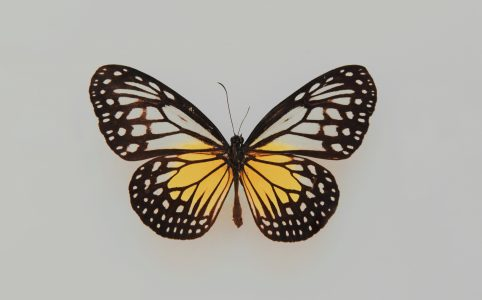 The Butterfly on a Gray Background