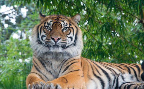 a bengal tiger sits calmly